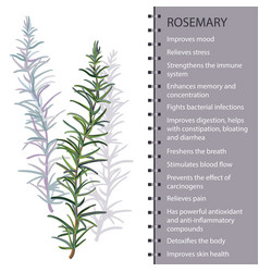 rosemary herb leaves infographic vector image