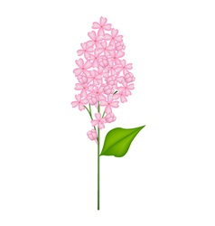 Pink Lilac or Syringa Vulgaris on White Background vector image vector image