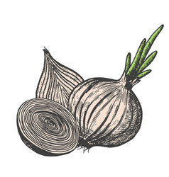 Hand drawn of onion sketch style doodle vegetable vector