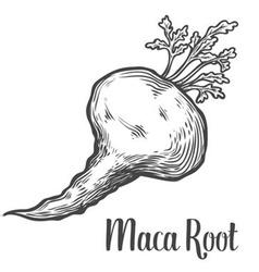 Maca root plant vector