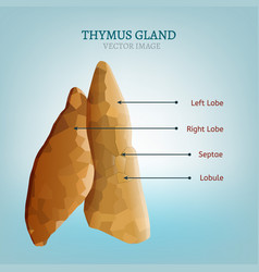 Thymus gland image vector
