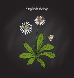 Common english or lawn daisy bellis perennis vector
