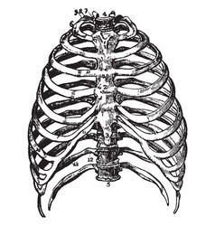The bones of the thorax vintage vector