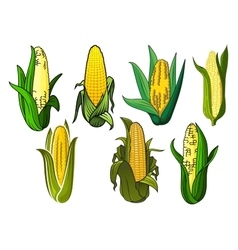 Isolated weet corn cobs vegetables vector