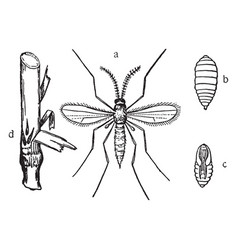Hessian fly stages vintage vector