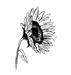 hand sketch sunflower sketch vector image vector image