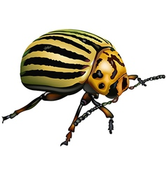 Colorado potato beetle vector