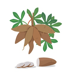 cassava vector image vector image