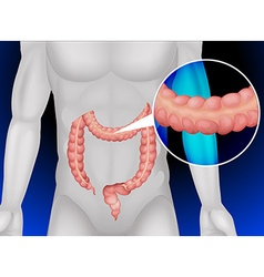 Large intestine in human body vector