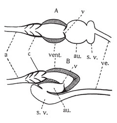 Vertebrate heart vintage vector