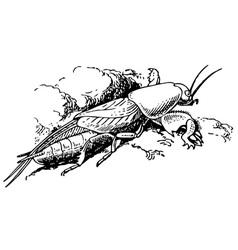 mole cricket vector image