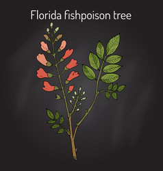 Florida fishpoison tree or jamaican dogwood or vector