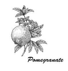 pomegranate punica granatum branch with fruit and vector image vector image