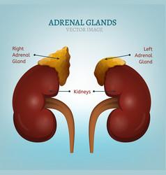 Adrenal glands image vector