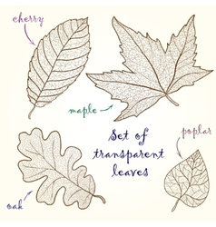 Collection of leaves cherry oak maple poplar vector image