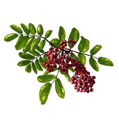 Ashberry branch composition with berries and vector