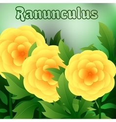 Beautiful spring flowers ranunculus cards or your vector