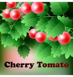 Ripe red juicy cherry tomato hang on a green vector