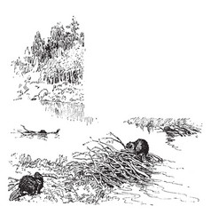 Beavers is a semiaquatic rodent vintage engraving vector