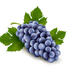 Ripe grapes with leaf vector