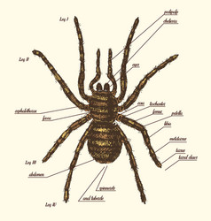 a spider anatomy include all name vector image vector image