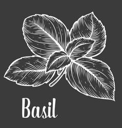 Basil Herb vector image vector image