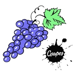 Bunch of black grapes vector