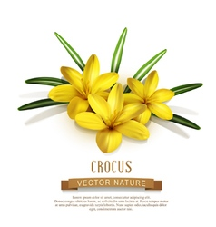 Isolate three yellow crocus vector