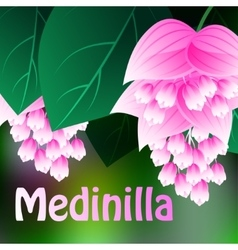 Beautiful spring flowers Medinilla Cards or your vector image