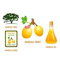 Marula fruit vector image