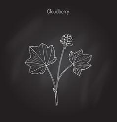 cloudberry rubus chamaemorus vector image vector image