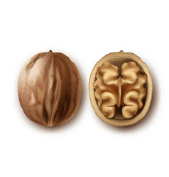 Two ripe walnuts vector