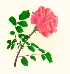 Rose pink blossoms stem with leaves vector