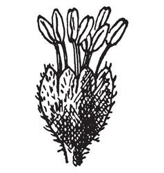 Beech flower vintage vector