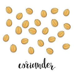 Coriander isolated object sketch Spice for food vector image