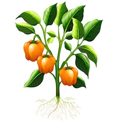 Orange capsicum on the branch vector