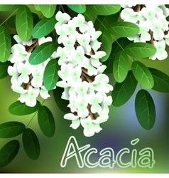 Beautiful spring flowers acacia cards or your vector