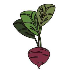 Beetroot vegetable food fresh vector