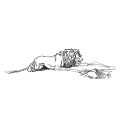 Thirsty lion vintage vector