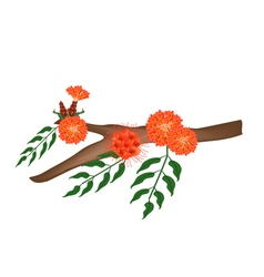 Scarlet Flame Bean or Brownea Ariza Flower on Tree vector image