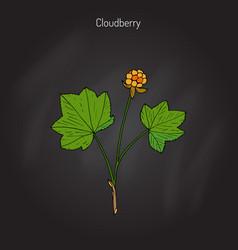 cloudberry rubus chamaemorus vector image
