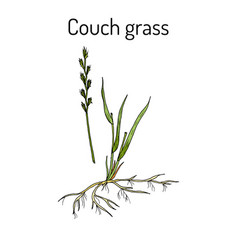 Couch grass elymus repens or twitch medicinal vector