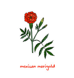 Tagetes or french marigold hand drawn botanical vector