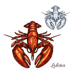 Lobster isolated sketch for seafood design vector