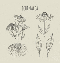 echinacea medical botanical isolated vector image