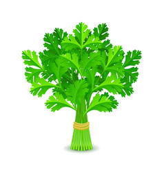 Parsley isolated on white vector