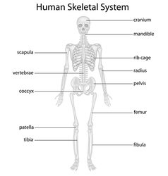 Skeletal system vector