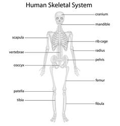 Skeletal system vector image vector image