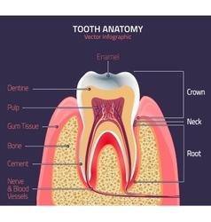 Teeth anatomy vector image