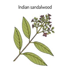 Indian sandalwood santalum album medicinal plant vector